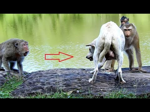 Poor newly mother dog was attacked by female monkey, female dog shout loudly