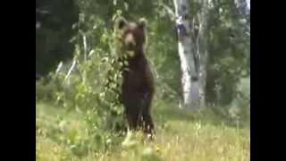 Нападение медведя Камчатка 2013