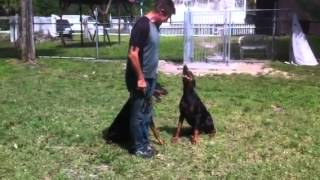 Florida Dog Academy - Basic Obedience Training With Doberman Khan