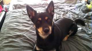 Husky Rottweiler Mix