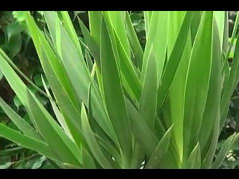 Yuka Çiçeği - Yuka (Hançer) Çiçeğinin Bakımı, Çoğaltımı ve Tanıtımı