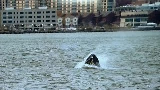 Humpback whale found swimming in NYC's Hudson River