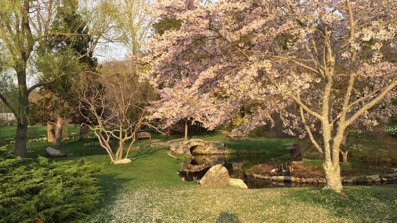 Сакура весенним вечером в Blithewold - 6 - Spring - Sakura \'Akebono ...