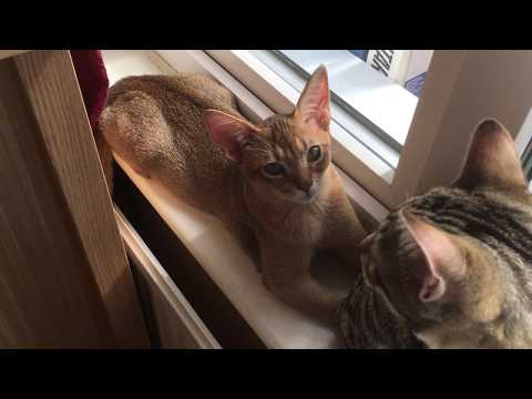 Abyssinian and Bengal kitten playing on windowsill