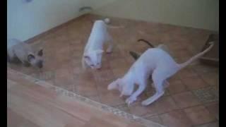 Забавные котята корниш-рекс. Популярное видео