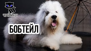 Бобтейл / Интересные факты о собаках