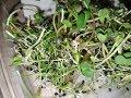 Поделки - Микрогрин. Выращивание в домашних условиях. Часть1.