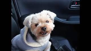犬ってなんで車で走っている時窓から顔を出すのでしょうか? 犬 ヨーキ...