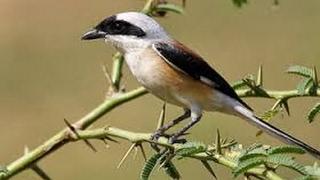 Video Burung Unik - MELATIH CENDET JINAK Dan FREE FLYING download MP3, 3GP, MP4, WEBM, AVI, FLV Juni 2018