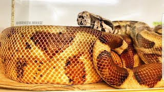 عملية هروب من اربع ثعابين نوع (بوا) مع جمال العمواسي