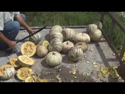 Cosechadora de Semilla de Calabaza, Distribuidora Emjo