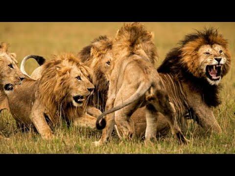 وثائقي - عصابات الأسود - عالم الحيوانات المفترسة