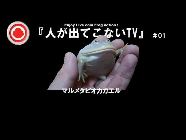 『人が出てこないTV』  #01          マルメタピオカガエル
