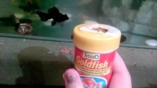 Золотые рыбки содержание