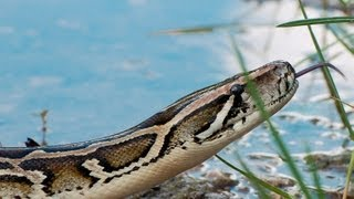 Pythons At Alligator Pond 01 - Dangerous Animals In Florida