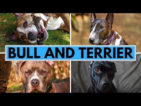 Bull and Terrier - The Ancestor of Amstaff, Staffy, Pit Bull and Bull Terrier