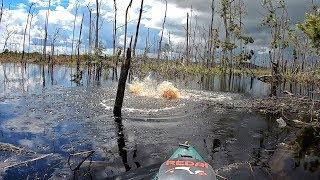 PESCA DE PIRARUCU, ataques cinematográficos na isca de superfície! Pescaria.