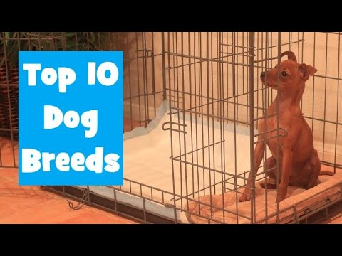 top-10-dog-breeds-using-the-potty-training-puppy-apartment---can-you-guess-the-#1-dog-breed?