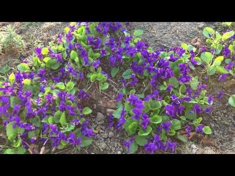 Фиалка лесная, садовая апрель 2018! Первоцвет.
