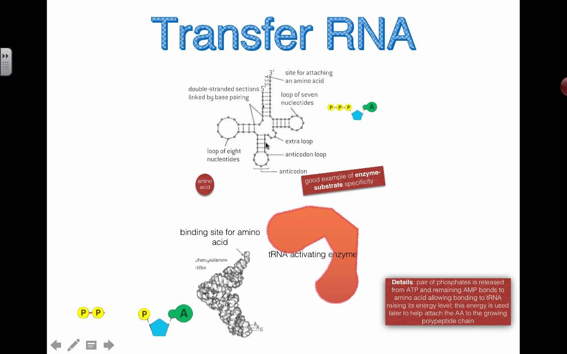 trna-activating enzyme  2016  ib biology