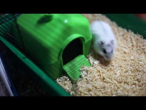 видео: Новорожденные джунгарики