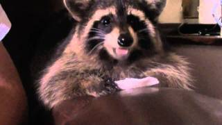 Kuckuniwi the Raccoon and her once in a blue moon treat
