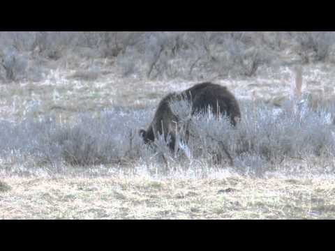Yellowstone Grizzly Sow and Cub Foraging for Ground Squirrels in Meadow
