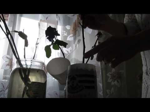 Выращивание розы из черенка из букета. Садовые эксперименты