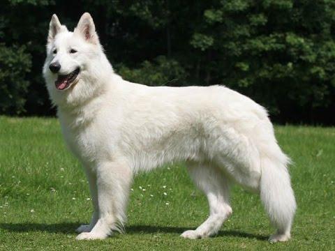 Berger Blanc Suisse : tout savoir sur cette race de chien (White Swiss Shepherd) [VF]