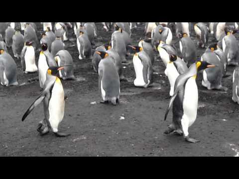 King Penguins at Volunteer Point Falkland Islands