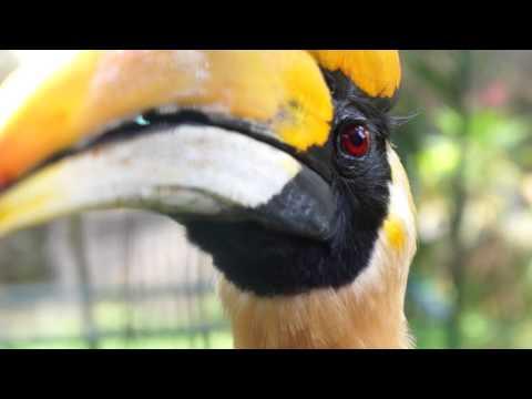 The Great Hornbill (Buceros bicornis)