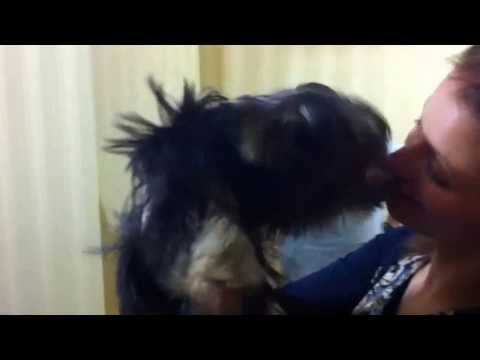 Йоркширский терьер, продажа щенков в Москве фото, цены