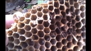 Шок! Неожиданная находка: гигантские пчёлы или кто?