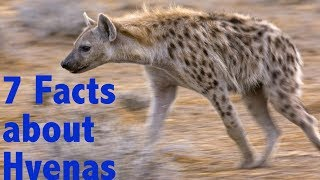 7 Facts about Spotted Hyenas