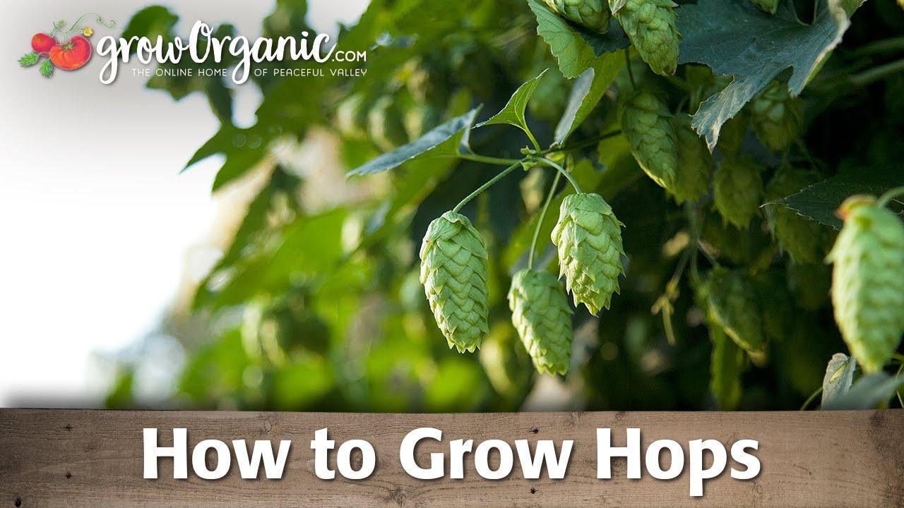 how to grow tuberose in australia