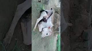 Cow and goat / strong friendship / esi dosti kabhi dekhi nahi hogi / #animallover/ must watch