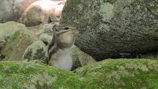 귀요미 다람쥐 때문에 죽겠어요.. - 강원도 오대산 월정사 전나무숲길 산림욕 하다 만난 관종 다람쥐 ㅎㅎ