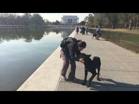 2.5 Year Old Giant Schnauzer, Sampson!  Giant Schnauzer Dog Training | Off Leash K9 | Virginia