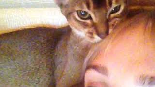 Абиссинская кошка Джесика ( Jessica Emmanuelle). GaidJewel's kennel