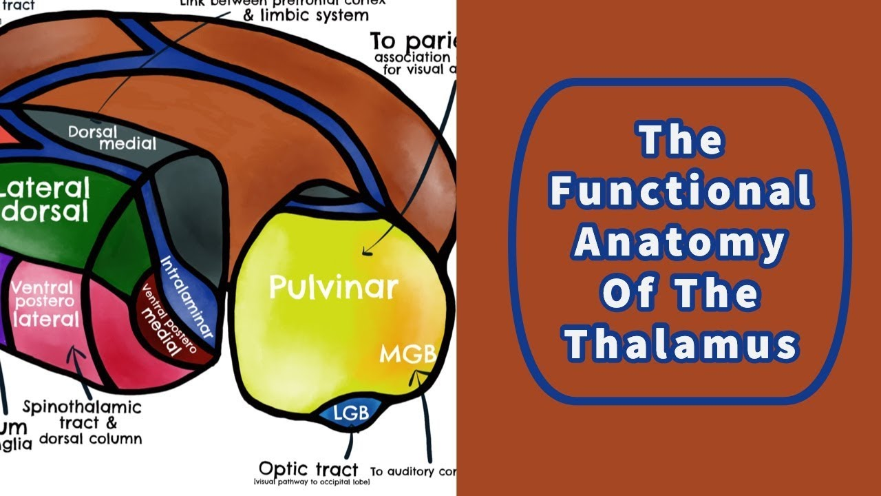 The Functional Anatomy of the Thalamus - YouTube