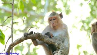 The Big Mistake Not Give Up Mother Duchess If Baby Duke Fall Down From The Tree. Lovely Monkey