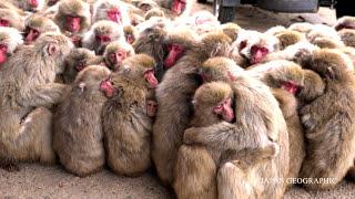 JAPAN GEOGRAPHIC 4K 香川 小豆島のサル団子 Monkey Huddle in Shodoshima,Kagawa