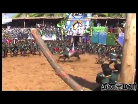 Bull Flight from Tamil Nadu, India for Pongal Festival Called Jallikattu Travel Video