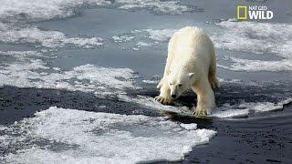 L'ours polaire, le plus grand chasseur terrestre