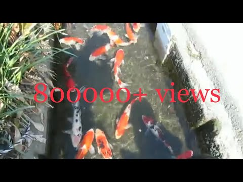 Koi Fish || Colorful Fishes In Street Canal At Japan || Beautiful Life Style In Japan || Japan 🇯🇵