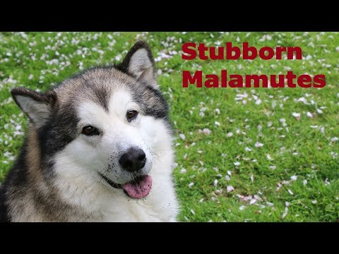 Are Malamutes Stubborn Dogs? Funny Fluffies / Double Trouble Malamutes