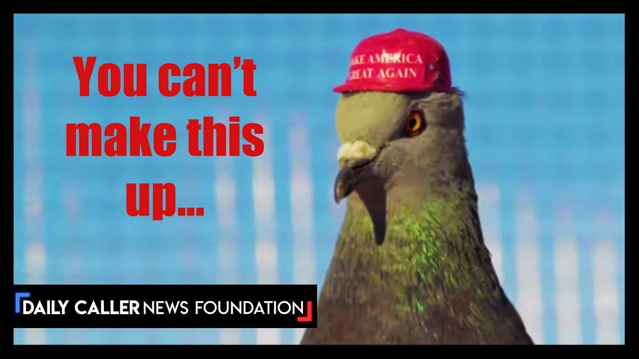 Someone Put Maga Hats On Pigeons