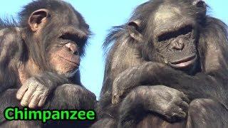 多摩動物公園のチンパンジー家族です。 Amazing Chimpanzee family at T...