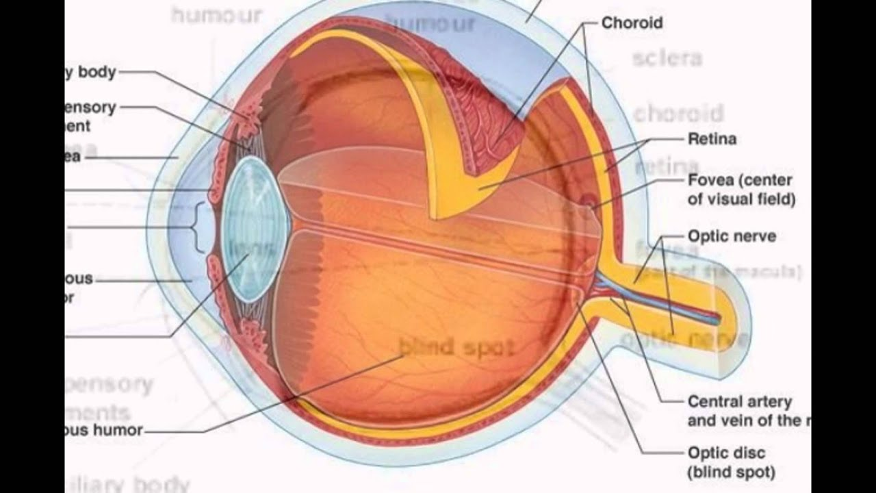 The human eye parts and functions youtube the human eye parts and functions ccuart Choice Image