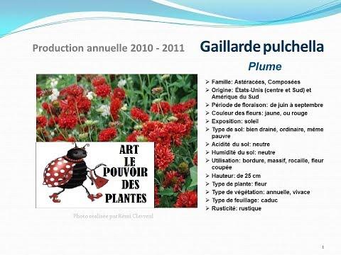 conseils jardinage :Tuto jardin: Gaillarde pulchella Plume:  fiche technique plante annuelle